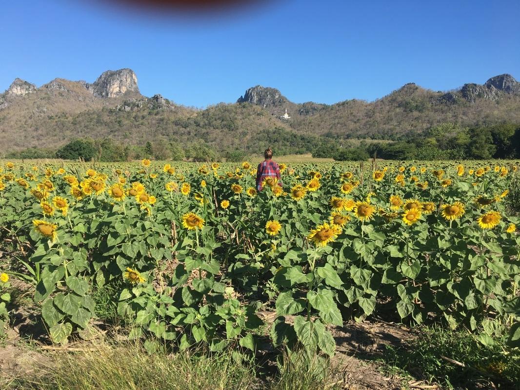 sunflower fields 2 by - photo #19